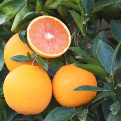 Cara Cara Sweet Orange Garden Plant