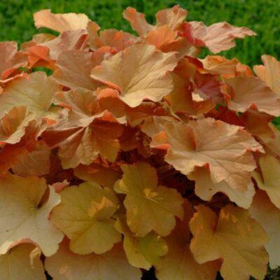 Caramel Coral Bells Garden Plant