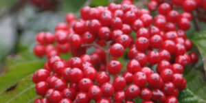 Cardinal Candy Viburnum Garden Plant