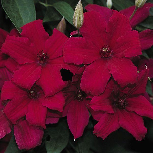 Cardinal Wyszynski Clematis Garden Plant