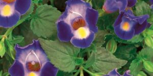 Catalina Midnight Blue Wishbone Flower Garden Plant