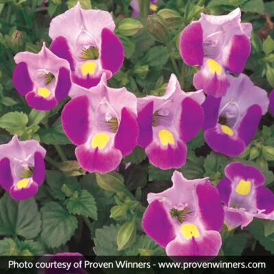 Catalina Pink Wishbone Flower Garden Plant