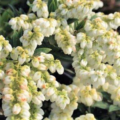 Cavatine Pieris Garden Plant