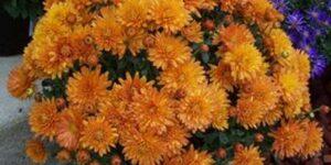 Celeste Aster Garden Plant