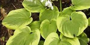 Celestial Hosta Garden Plant