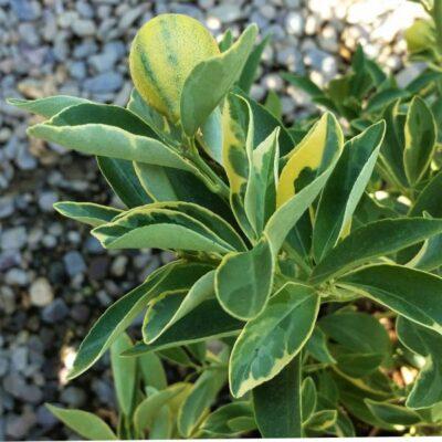 Centennial Variegated Kumquat Garden Plant
