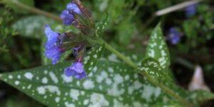 Cevennensis Lungwort Garden Plant