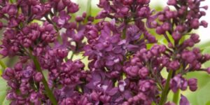 Charles Joly Lilac Garden Plant