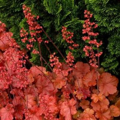 Cherry Cola Coral Bells Garden Plant