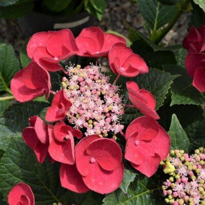 Cherry Explosion Hydrangea Garden Plant