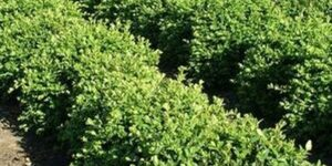 Chicagoland Green Boxwood Garden Plant