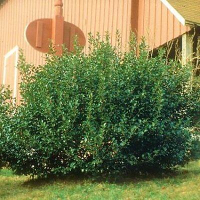 China Boy Holly Garden Plant