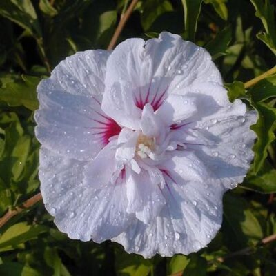 China Chiffon Rose of Sharon Garden Plant