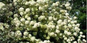 Chinese Snowball Viburnum Garden Plant
