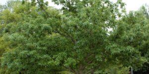 Chinkapin Oak Tree Garden Plant