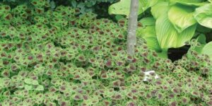 Chocolate Drop Coleus Garden Plant