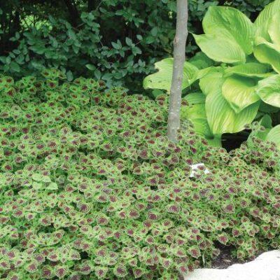 Chocolate Drop Coleus Garden Plant