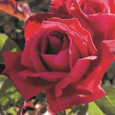 Chrysler Imperial Hybrid Tea Rose Garden Plant