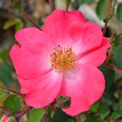 Chuckles Rose Garden Plant