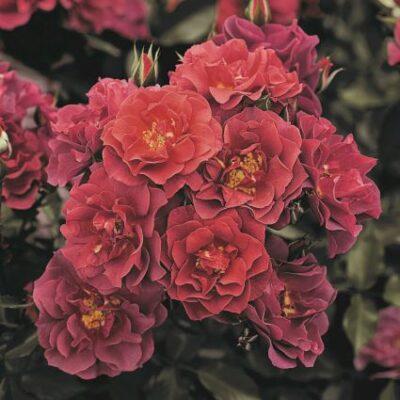 Cinco De Mayo Rose Garden Plant