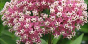 Cinderella Butterfly Weed Garden Plant