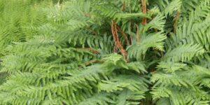 Cinnamon Fern Garden Plant