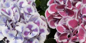 Cityline Mars Bigleaf Hydrangea Garden Plant