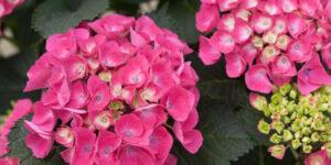 Cityline Paris Bigleaf Hydrangea Garden Plant