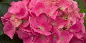 Cityline Vienna Bigleaf Hydrangea Garden Plant