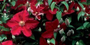 Clematis Ernest Markham Garden Plant