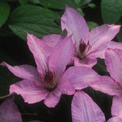 Clematis Hagley Hybrid Garden Plant