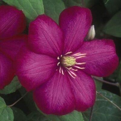 Clematis Vino Garden Plant