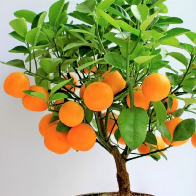 Buy Clementine Mandarin Orange Tree