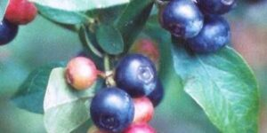 Climax Blueberry Garden Plant