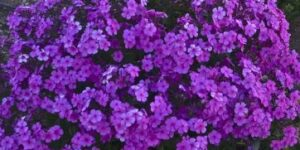 Cloudburst Tall Cushion Phlox Garden Plant