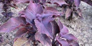 Coleus Dark Star Garden Plant