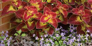 Coleus Dipt in Wine Garden Plant