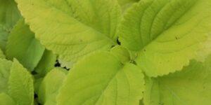 Coleus LifeLime Garden Plant