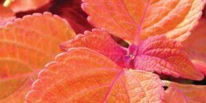 Coleus Sedona Garden Plant