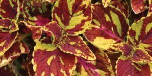 Coleus Splish Splash Garden Plant