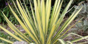 Color Guard Yucca Garden Plant