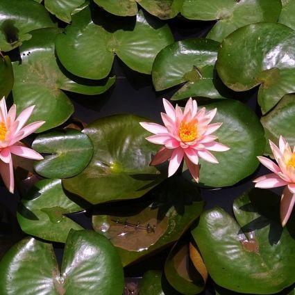 Colorado Water Lily Garden Plant