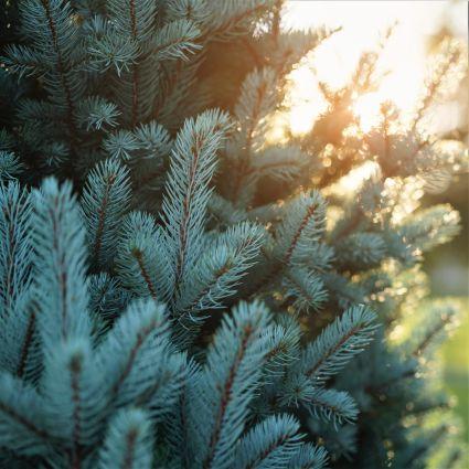 Columnar Blue Spruce Garden Plant