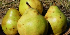 Comice Pear Tree Garden Plant