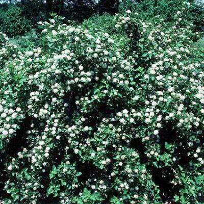 Common Ninebark Garden Plant