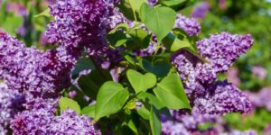 Common Purple Lilac Garden Plant