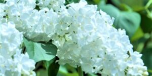 Common White Lilac Garden Plant