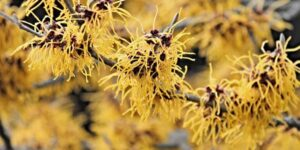 Common Witch-hazel Garden Plant