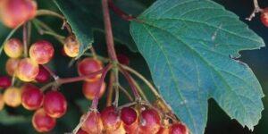 Compact American Cranberrybush Garden Plant