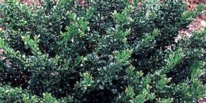 Compact Japanese Holly Garden Plant